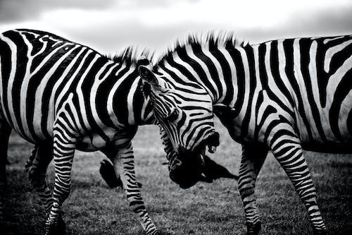 Fotos de stock gratuitas de África, animales, blanco y negro, cebras