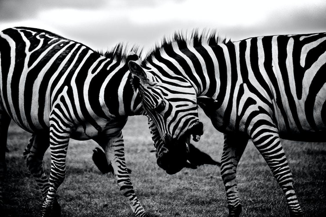 Àfrica, animals, blanc i negre