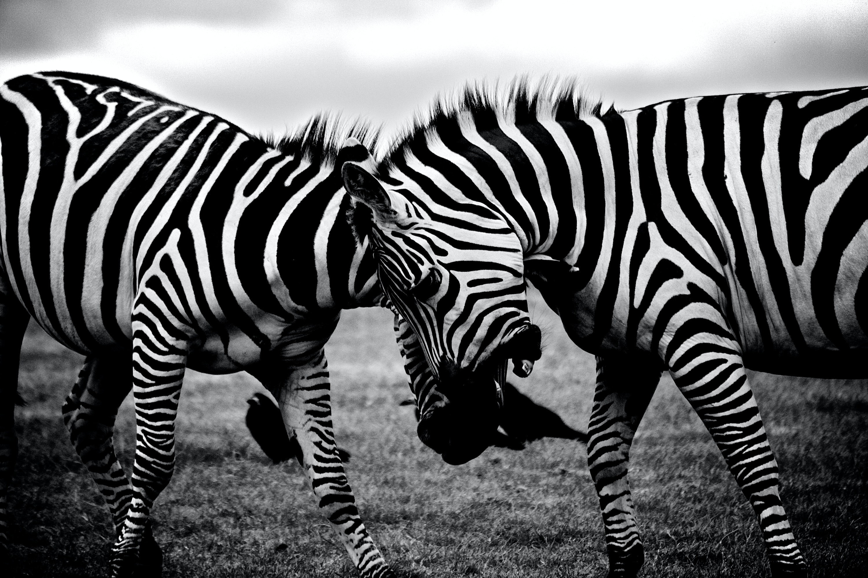 grayscale photography of two zebra on standing on ground · free