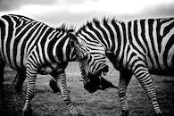 black-and-white, africa, animals