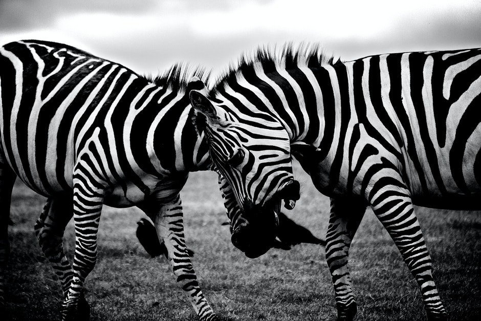 africa, animals, black-and-white