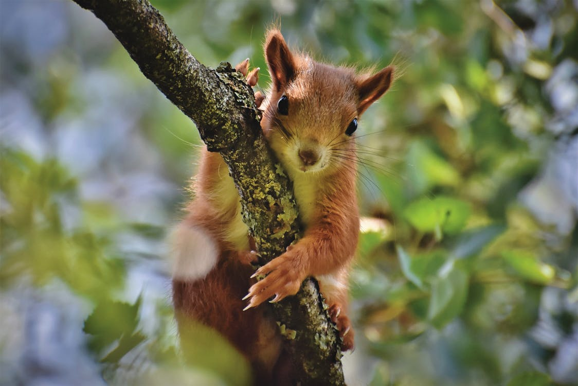 Brown Squirrel on Wood Branch