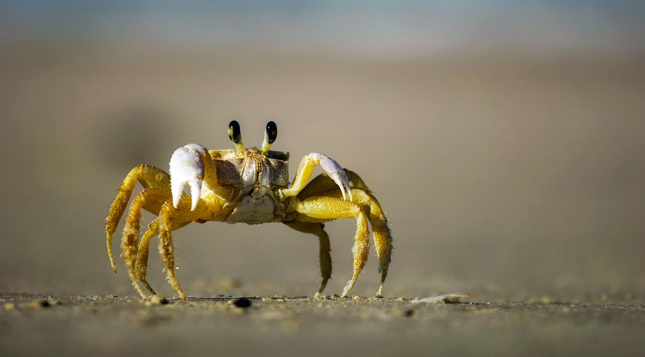 Free stock photo of beach, sand, eyes, crab