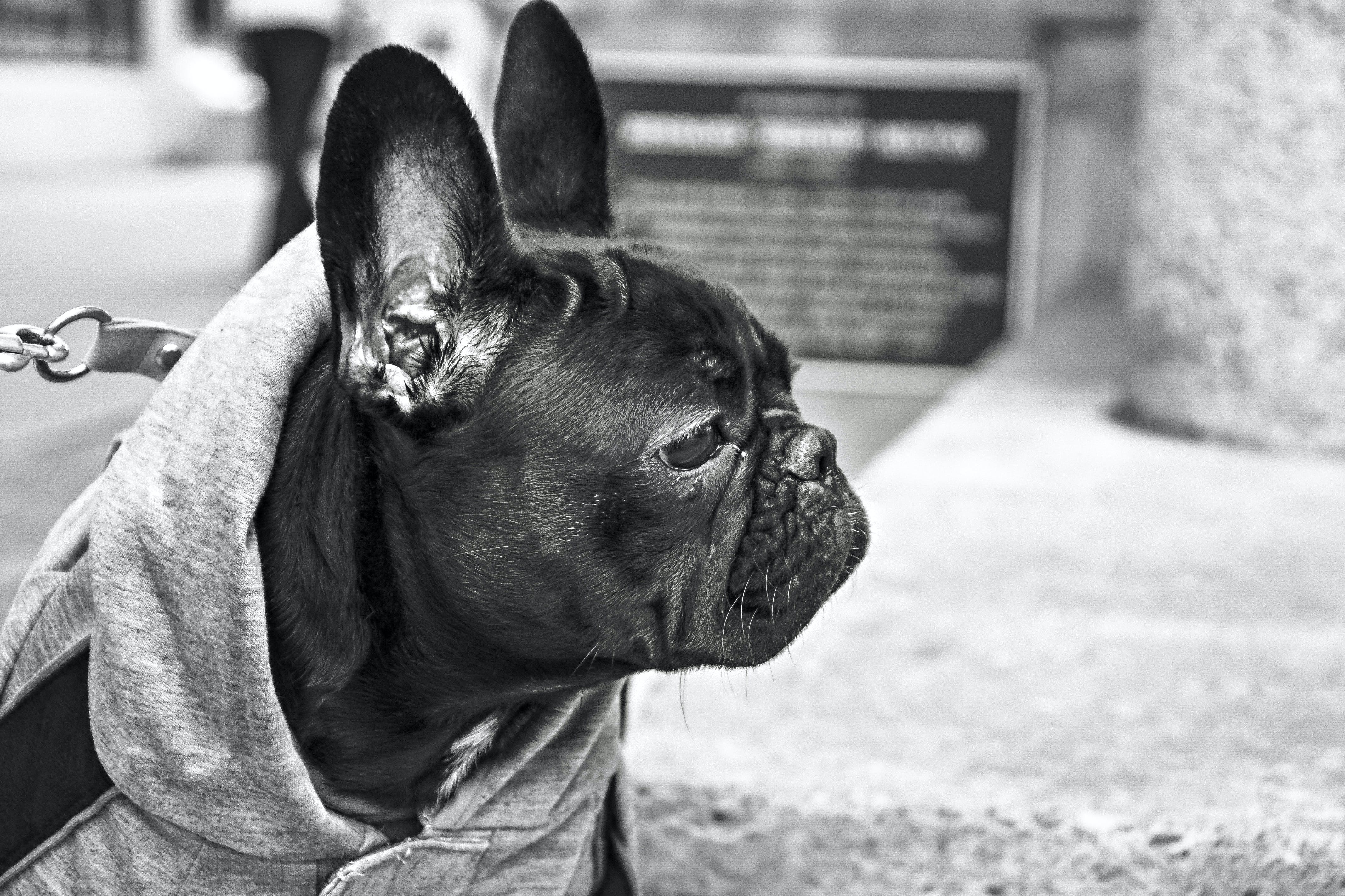Grayscale Photography of French Bulldog
