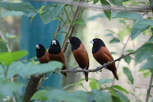 Fotobanka sbezplatnými fotkami na tému 🐦, gaštanová munia, vtáky