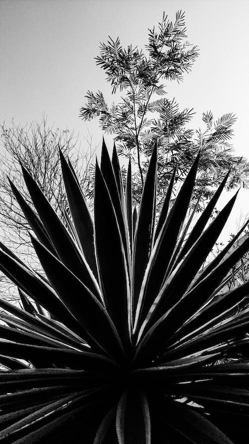 Fotobanka sbezplatnými fotkami na tému abstraktné umenie, čb, kaktusová rastlina, krása prírody