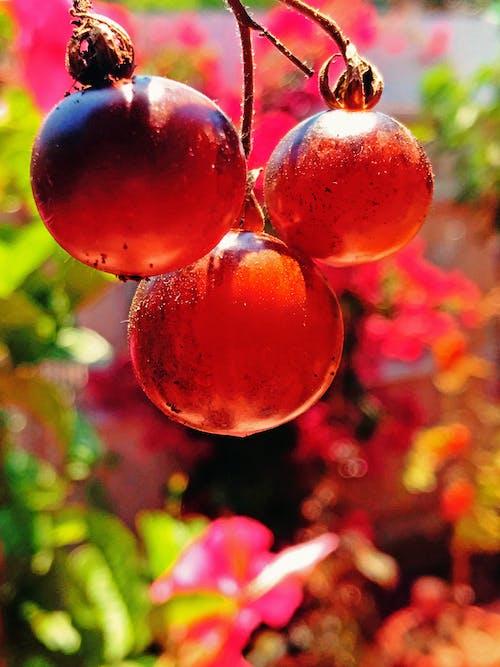 Bahçe, çeri domatesler, doğa, domates içeren Ücretsiz stok fotoğraf