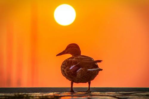 Free stock photo of bird, duck, sunrise