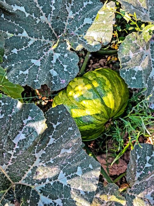 Bahçe, bal kabağı, güz, sebze içeren Ücretsiz stok fotoğraf