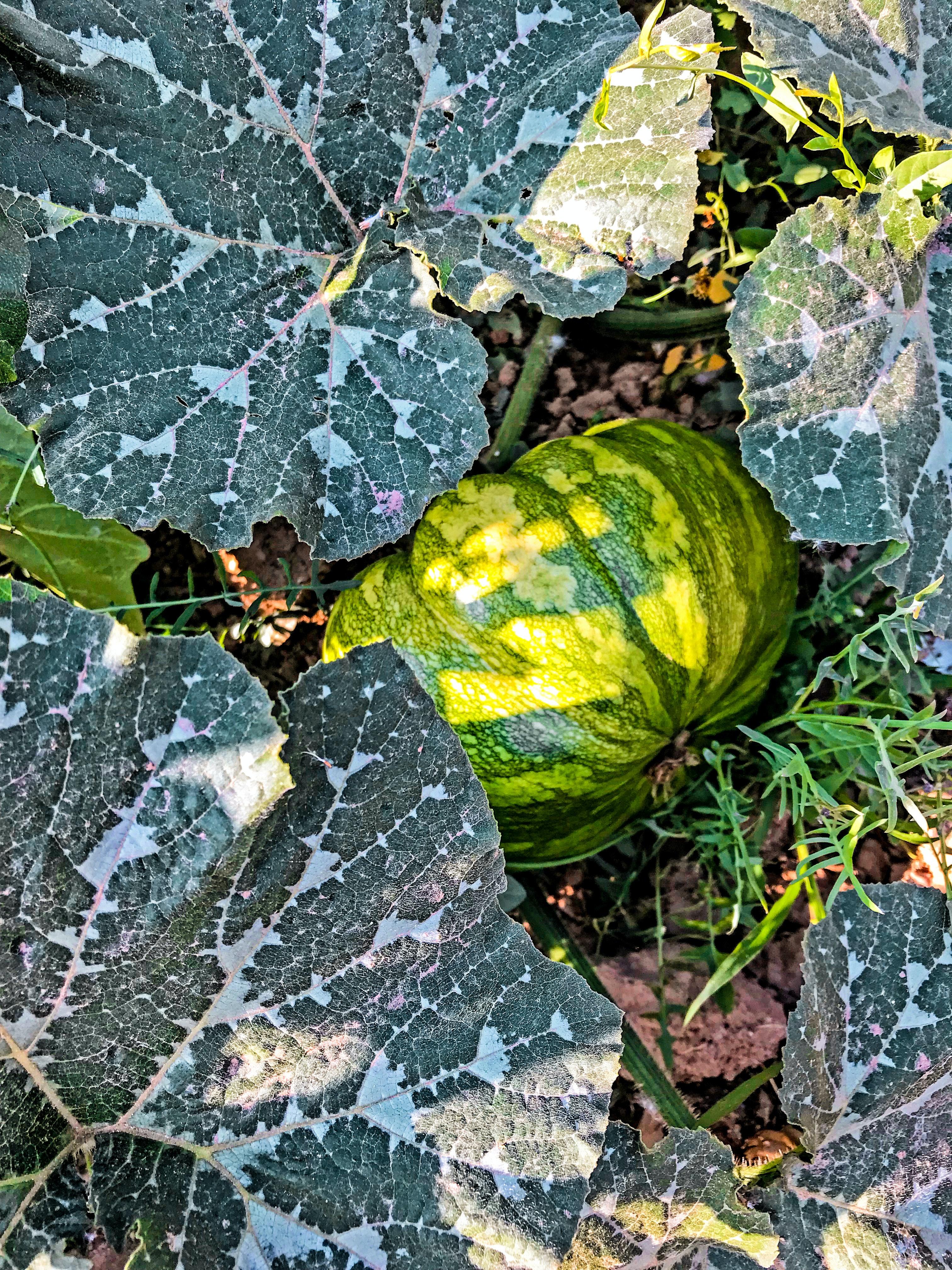 Free Stock Photo Of Autumn Garden Leafy Vegetables