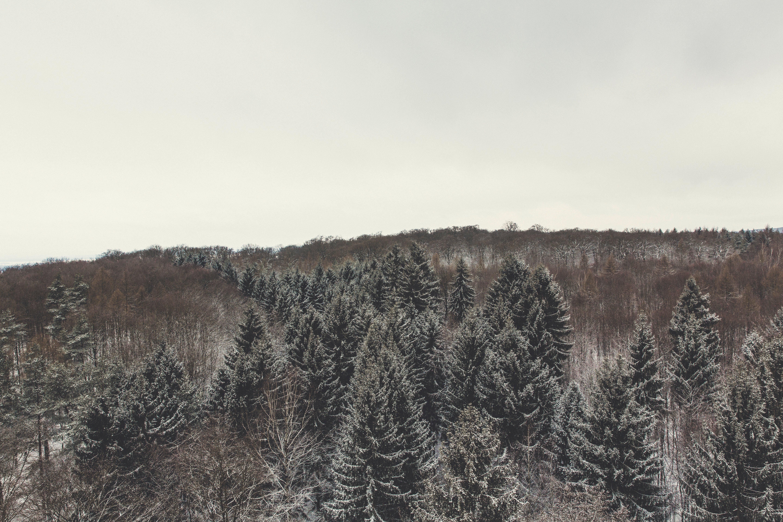 borovice, kmeny, kopec