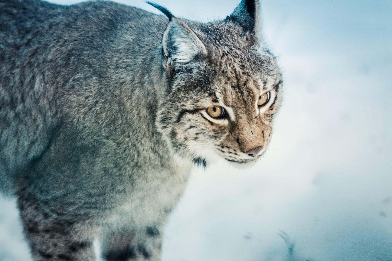 Free stock photo of nature, animal, eyes, grey