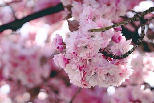 Free stock photo of bud, cherry blossom, detail