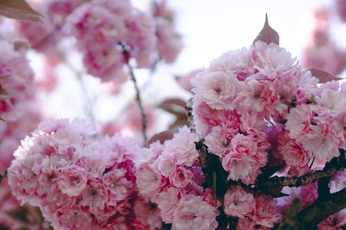 Free stock photo of beautiful flower, cherry blossom, detail