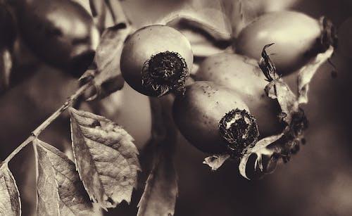天性, 植物, 漿果, 烏賊 的 免費圖庫相片