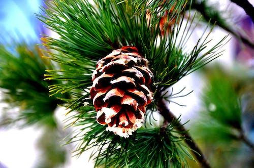 Free stock photo of cone, conifer