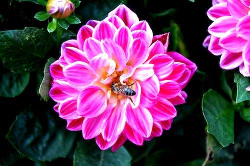 Free stock photo of bee, dark green, flower