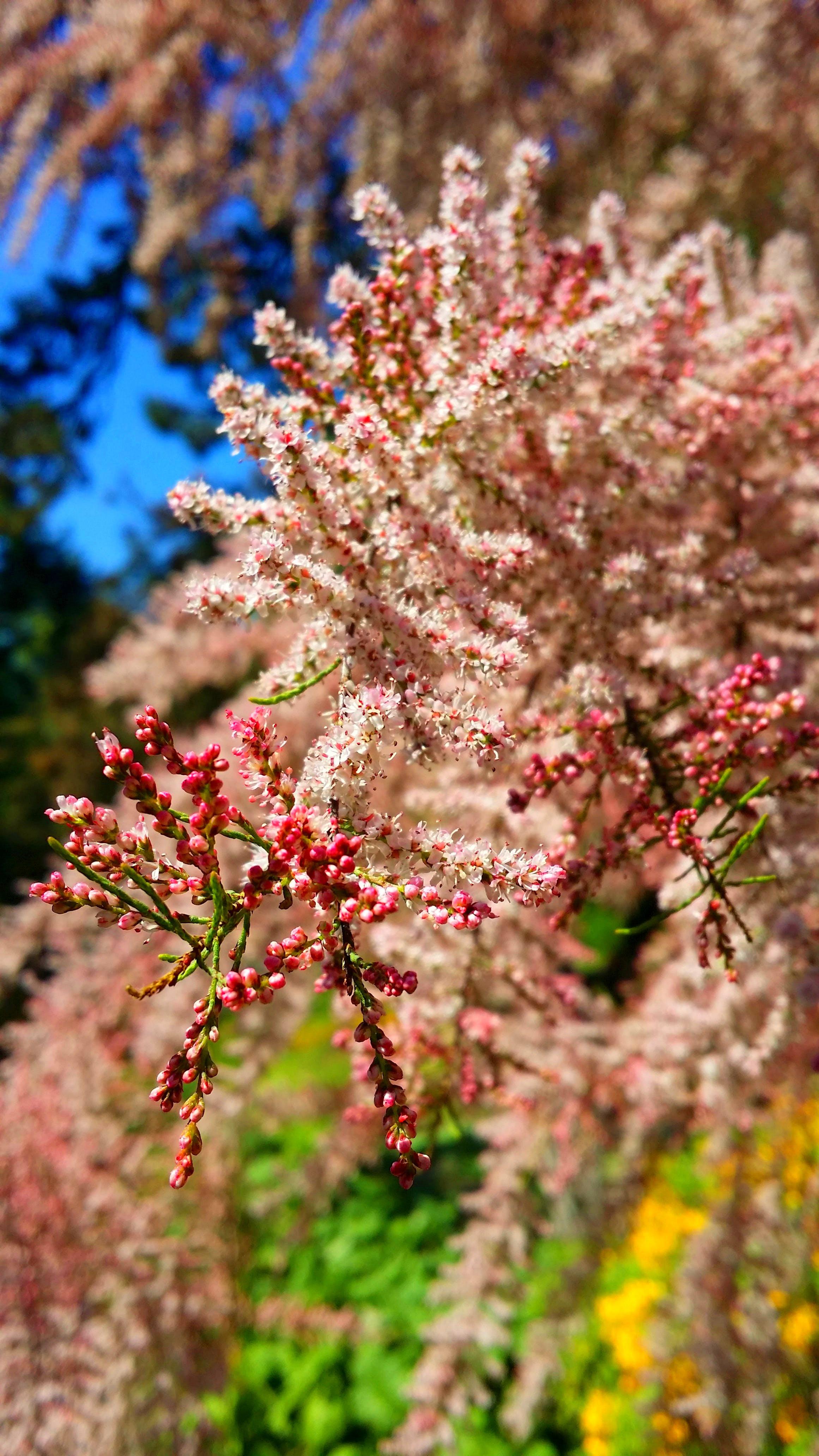 Free stock photo of pink tree