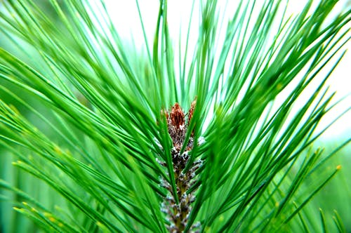 Free stock photo of conifer, green