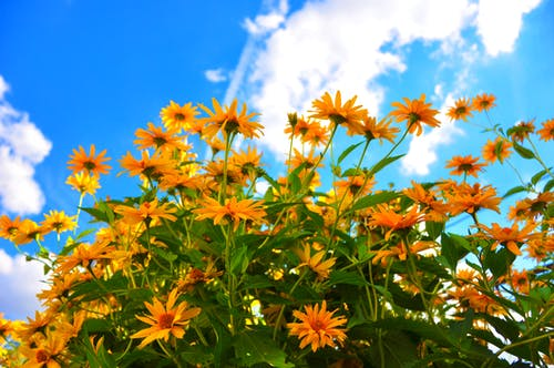 Free stock photo of blue sky, clouds, flowers