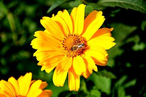 Free stock photo of bee, intense yellow