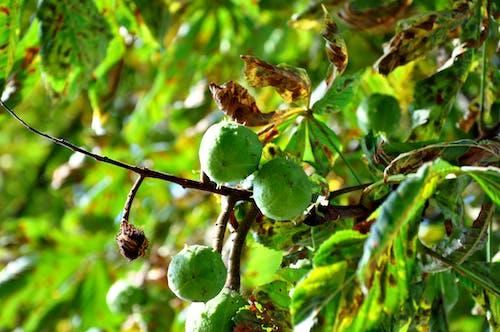 Free stock photo of chestnut, green