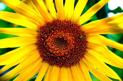 Free stock photo of flower seeds, yellow