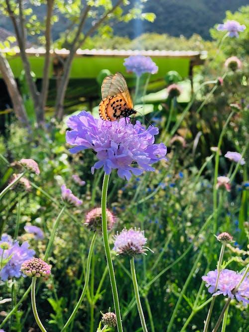 Free stock photo of butterfly, butterfly on a flower, purple flower
