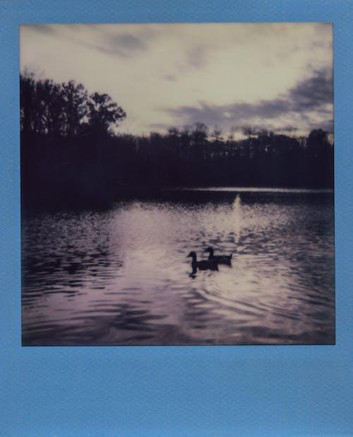 Ducks Floating on River