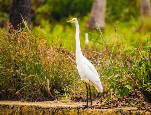 Free stock photo of egret, great egret, lagoon