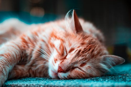 Sleeping Brown Tabby Cat