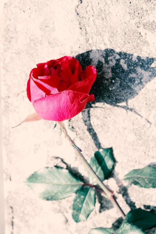 Kostnadsfri bild av blomma, delikat, ensam, förkrossad