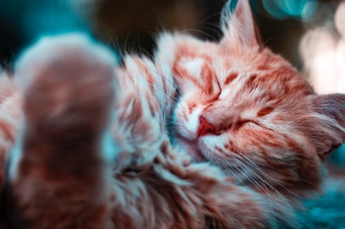 Selective Focus Photography of Sleeping Orange Cat