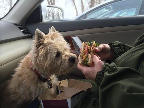 Free stock photo of cairn terrier, dog, gentleman