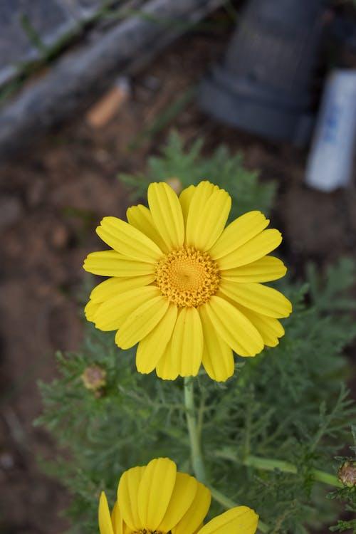 Gratis lagerfoto af gul, gule blomster, kunstige blomster, nikon