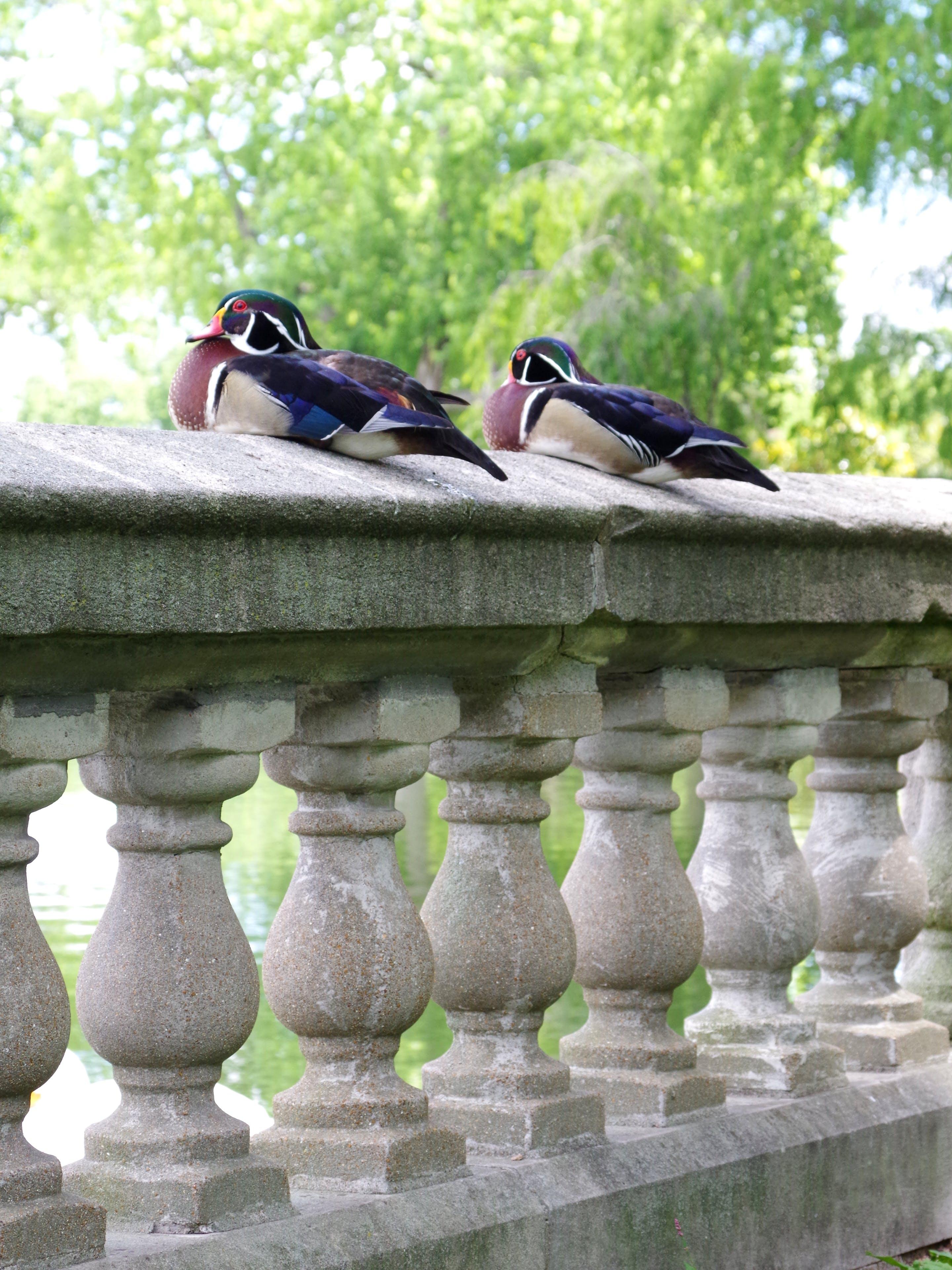 公園, 坐着的鸭子, 欄杆, 池塘 的 免费素材照片