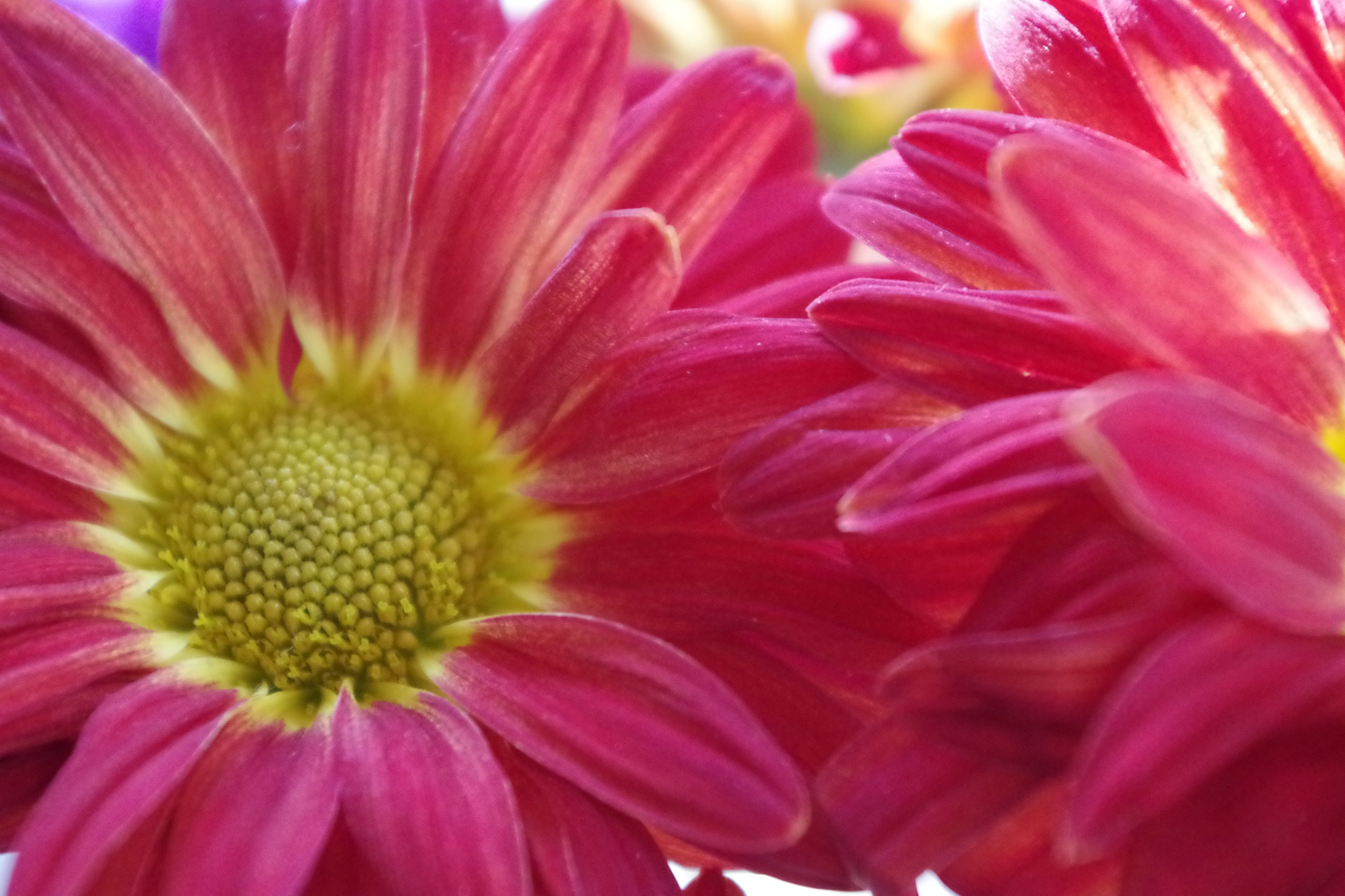 Free stock photo of beautiful flowers, bunch of flowers, daisy, petals