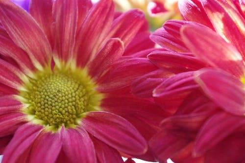 Darmowe zdjęcie z galerii z bukiet kwiatów, piękne kwiaty, płatki, stokrotka