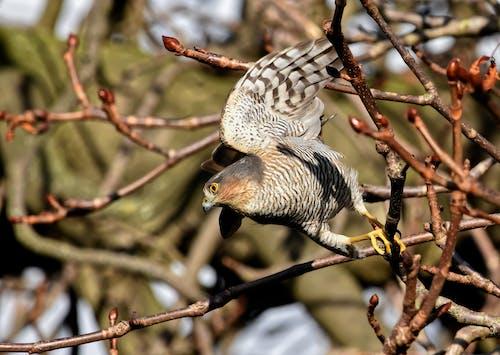 Δωρεάν στοκ φωτογραφιών με accipiter nisus, soarrowhawk, άγρια φύση, γεράκι