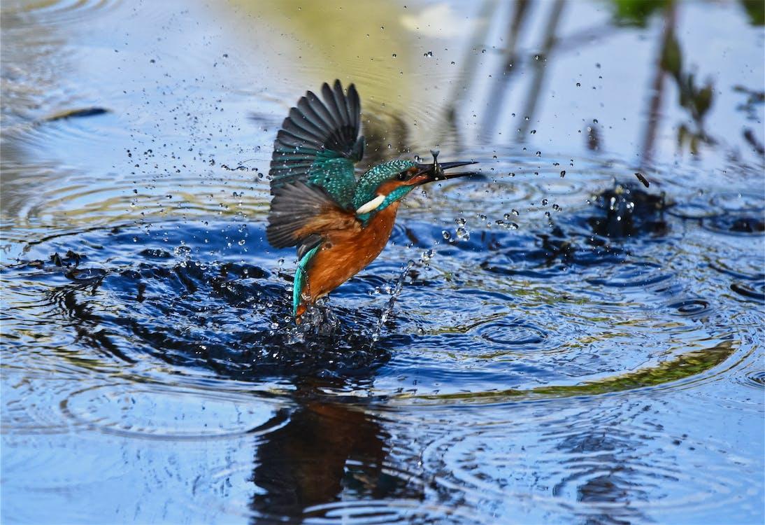 alcedo atthis, 강, 깃털