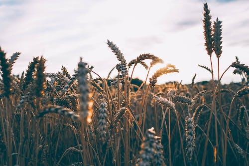 Foto d'estoc gratuïta de camp, creixement, herba, planta