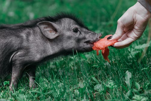 Photo Of Person feeding The Pig
