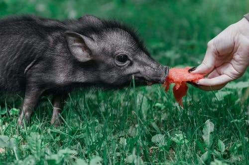 Black Piglet Being Fed