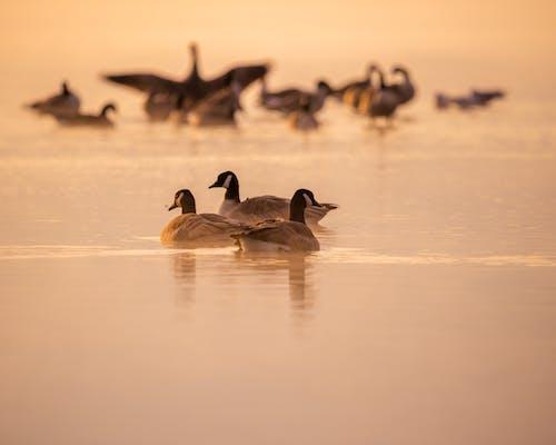 Imagine de stoc gratuită din dimineața devreme, gâște, păsări