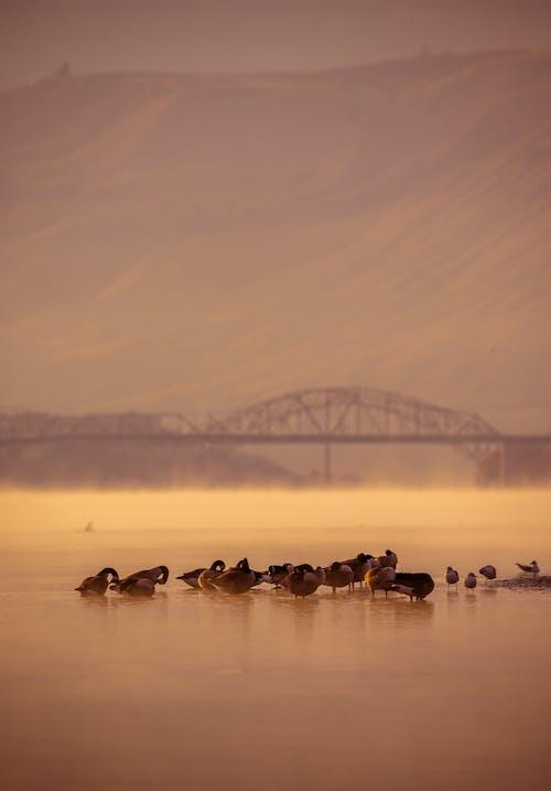 Základová fotografie zdarma na téma brzké ráno, husa, jezero, kachny