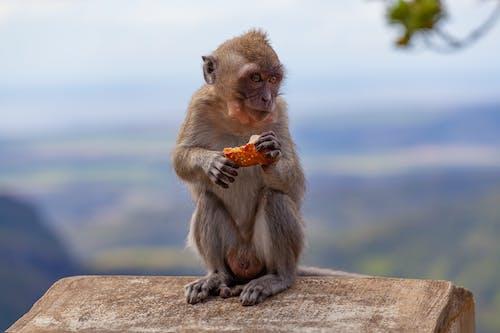 Immagine gratuita di alla ricerca, animale, fotografia di animali, macaco