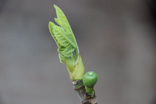 Free stock photo of bud, fig, green, springtime