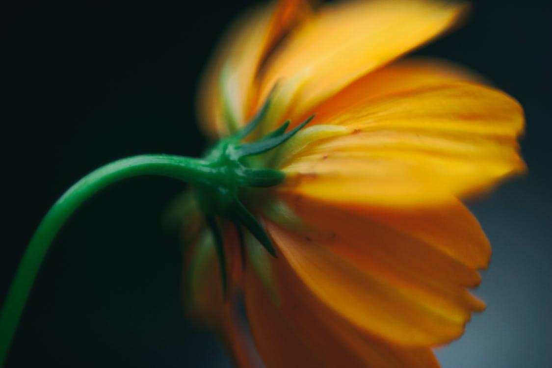 floare, fundal încețoșat, portocală
