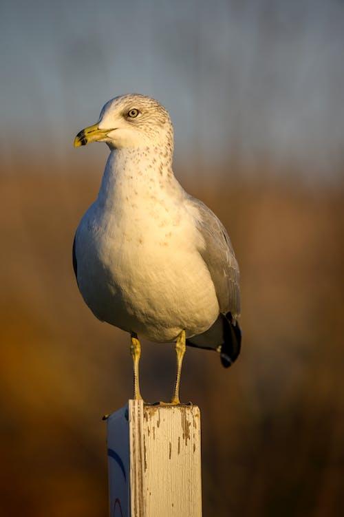 Imagine de stoc gratuită din pasăre, pescăruș