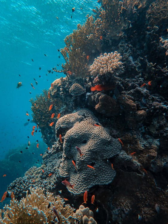 School of Fish in Corals Under the Sea